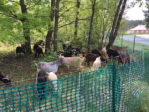 Goats at work 5-23-16